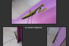 La-mante-religieuse